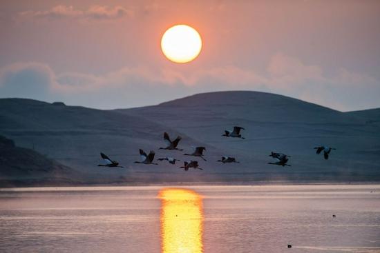 ↑日出时分,黑颈鹤在云南省昭通市大山包黑颈鹤国家级自然保护区飞翔(2月25日摄)。 新华社记者 胡超 摄