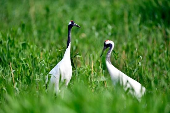 ↑两只丹顶鹤在水草间栖息。新华社记者 郭绪雷 摄