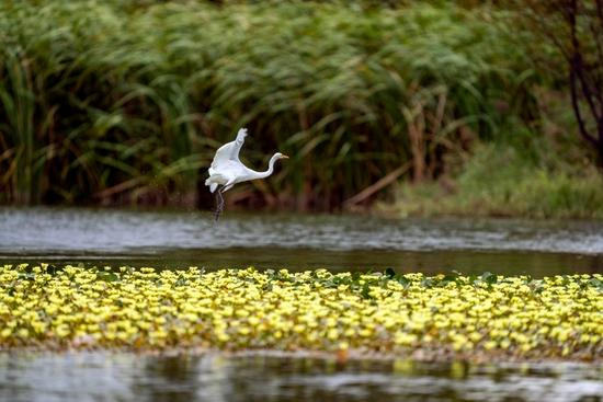 ↑水鸟在昆明宝丰半岛湿地嬉戏(9月25日摄)。 新华社记者 江文耀 摄