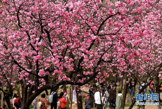 游人在昆明圆通山公园观赏盛开的樱花(3月16日摄)。新华社记者 蔺以光 摄