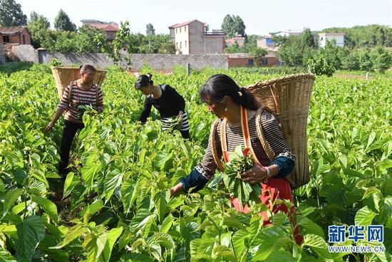 5月16日,寻甸县金所街道草海子村的农妇在采摘蚕桑叶。