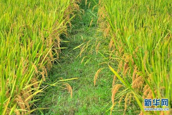 金黄色的稻田(9月29日摄)。新华网发(吴再忠 摄)