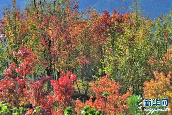 彩色的树叶(9月11日摄)。新华网发(吴再忠 摄)