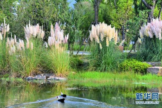 湖边芦苇(9月8日摄)。新华网发(吴再忠 摄)