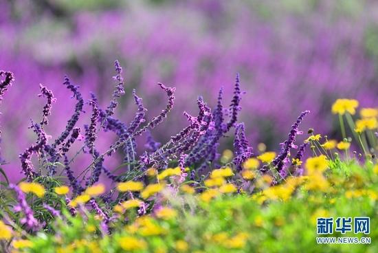 紫色的鼠尾草(10月1日摄)。新华网发(吴再忠 摄)
