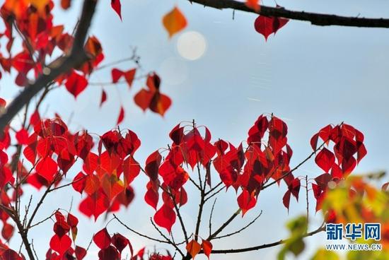 火红的树叶(9月11日摄)。新华网发(吴再忠 摄)