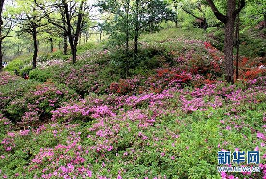 昆明黑龙潭公园内盛放的杜鹃花。(新华网 念新洪 摄)
