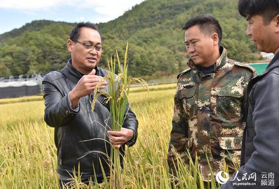 农技人员查看粳稻生长情况。摄影:赵庆祖