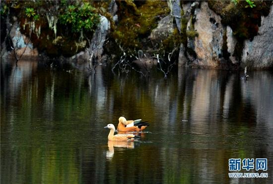 赤麻鸭(7月29日摄)。新华网发(李树靖 摄)