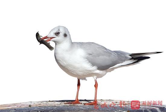 多年追踪记录:滇池有13种海鸥,你看到过几种?