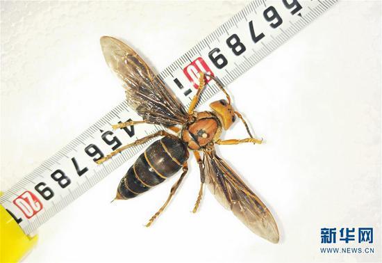 图为体长超过6厘米的中国大虎头蜂个体标本。 新华社发(成都华希昆虫博物馆供图)