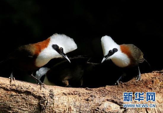 白冠噪鹛。盈江县观鸟协会会长 班鼎盈 摄/供图