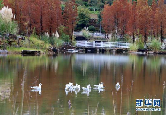 玉顺湖的红嘴鸥(11月3日摄)。新华网发