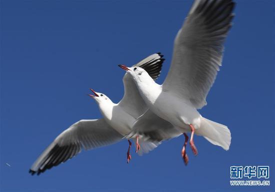 两只红嘴鸥在昆明滇池海埂大坝上空飞舞(1月11日摄)。 杨宗友 摄