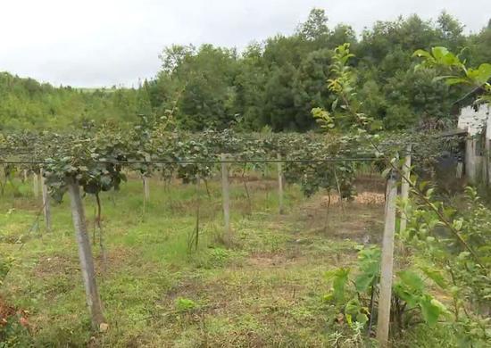 户撒乡猕猴桃种植地。