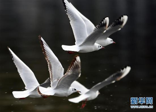 红嘴鸥在昆明翠湖公园飞舞(1月7日摄)。 杨宗友 摄