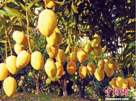 资料图,图为丽江华坪的芒果。 丽江外宣办供图