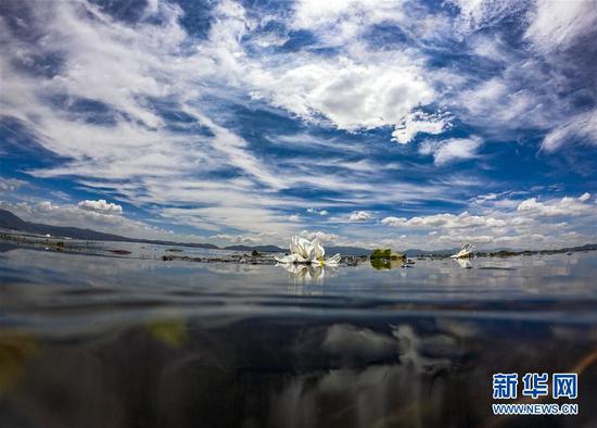 在洱海中开放的海菜花(5月31日摄)。