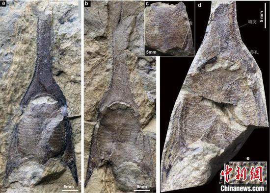 4.1亿年前云南曲靖早泥盆世布拉格期长吻三歧鱼化石照片(盖志琨 供图)