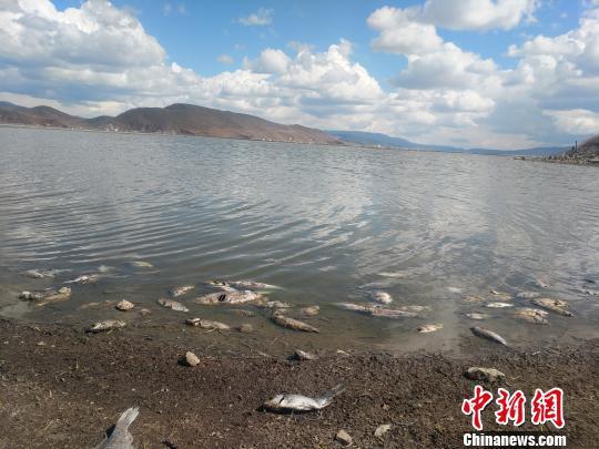 图为纳帕海湖区的死鱼。 钟欣 摄