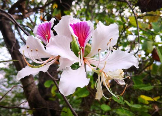 生物多样性丨龙陵山野白露花开惹人醉