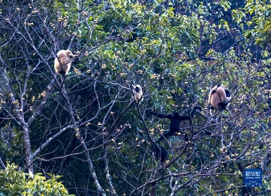 几只西黑冠长臂猿在树上采食野果(1月22日摄)。新华社记者 陈欣波 摄