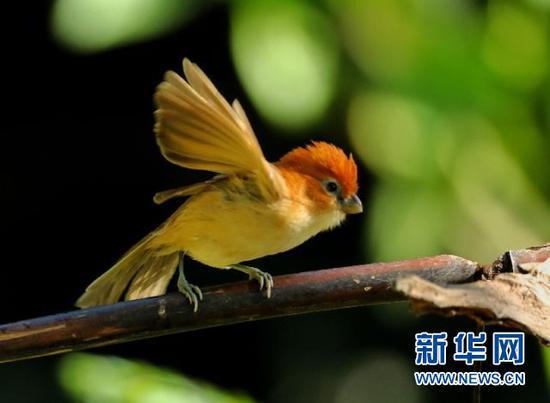 红头鸦雀。盈江县观鸟协会会长 班鼎盈 摄/供图