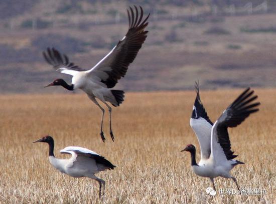 第四届香格里拉冬季国际观鸟节即将举办 你准备好了吗?