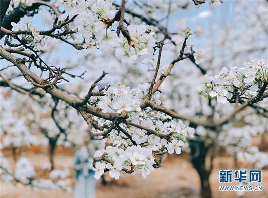 每年此时,雪白的梨花覆盖着万溪冲。新华网发(呈贡区融媒体中心供图)