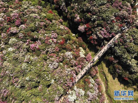 4月7日,游客在贵州省毕节市百里杜鹃金坡景区游览(无人机拍摄)。新华社发(韩贤普 摄)