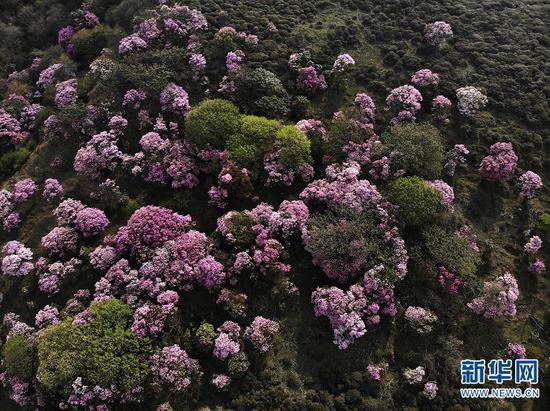 云南大理马耳山杜鹃花海美景。