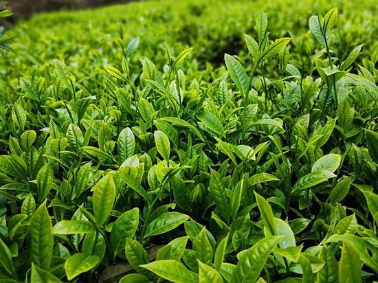 路径:党员示范带动促绿茶产业提升