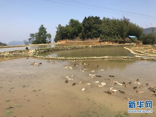 """近年来元阳县大力推广""""稻鱼鸭""""综合种养模式,带动群众脱贫致富。图为梯田里的鸭子。(新华网 詹晶晶 摄)"""