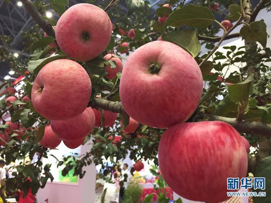 昭通苹果展销会现场摆放的苹果树。