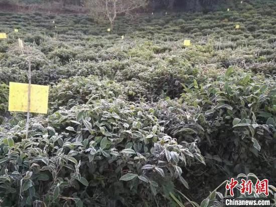 图为8日西双版纳南糯山多依寨茶产区发生霜冻。 杉茗 摄