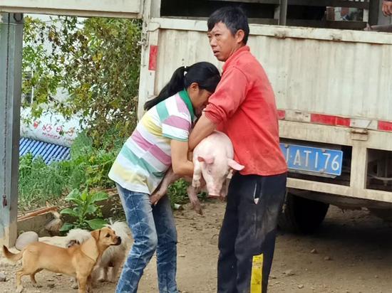 """云南墨江县广丰村:送猪传技增强贫困户""""造血""""功能"""