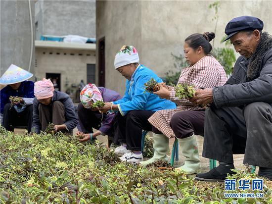 4月25日,当地村民在摘石斛。(新华网 李昀瞔 摄)