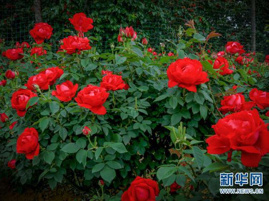 玫瑰花。(摄于4月28日)(新华网 潘越 摄)