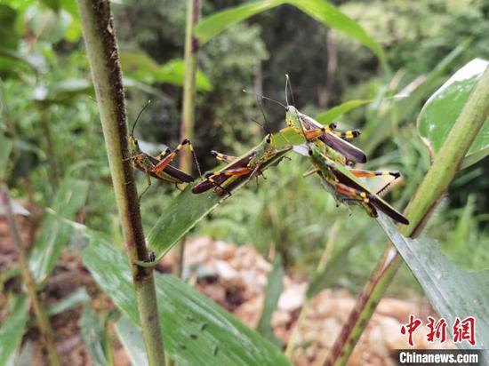 图为云南境内发现的黄脊竹蝗。云南省林业和草原局提供