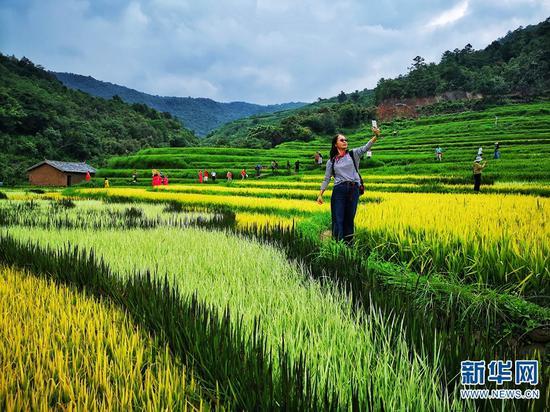 彩色稻田吸引了不少游客的到来(8月22日摄)。新华网发(崔永江/摄)