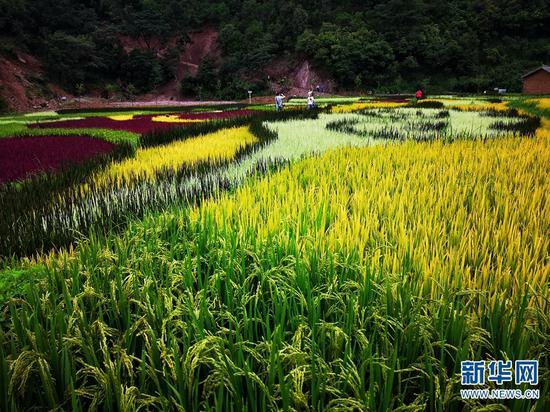 金秋时节,彩色稻田进入最佳观赏期(8月22日摄)。新华网发(崔永江/摄)