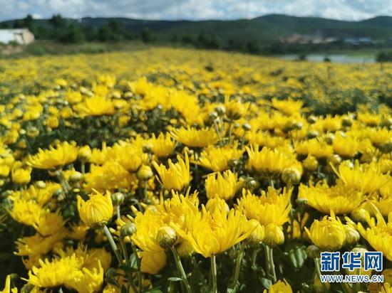 大淜村金丝黄菊示范基地