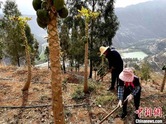 图为东川人在荒山上种植的木瓜树,身后是复绿的大山。 缪超 摄