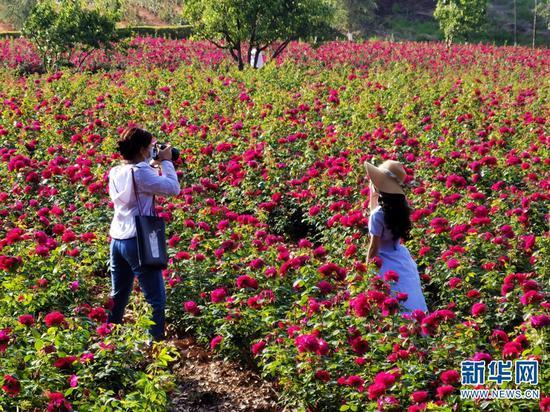 学生们在玫瑰花田里赏花留影。新华网发(云南大学供图)