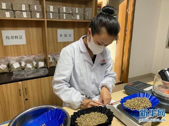 云南国际咖啡交易中心工作人员正在进行咖啡生豆物性检测。新华社记者 赵家淞摄