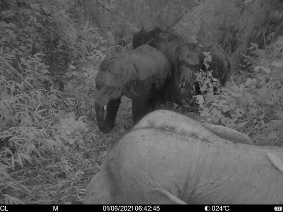 图为在版纳植物园内拍摄到的亚洲象。 邓云 摄