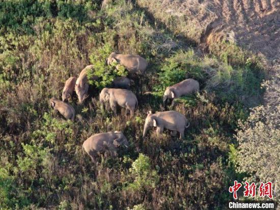 图为监测到的象群。 云南省森林消防总队提供