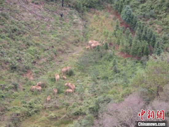 图为监测到的象群。 云南省森林消防总队供图