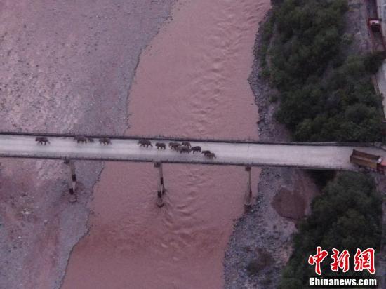 北移亚洲象安全渡过元江。(云南省森林消防总 供图)