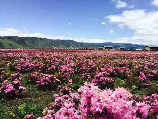 为了让游客获得独特的赏花体验,香格里拉推出了3条短线旅游赏花路线:
